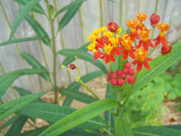 Milkweed just waiting for monarchs!