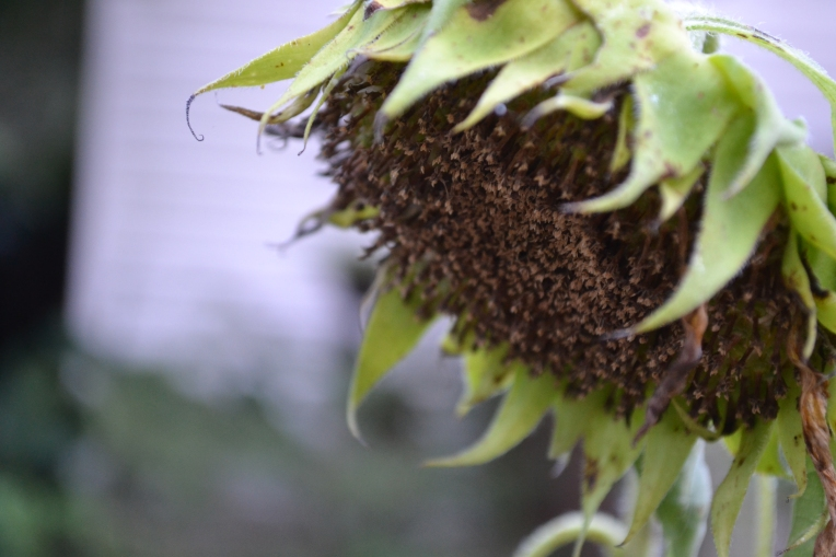 Where sunflower seeds come from