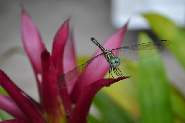 Dragonfly on Jayne's bromeliad